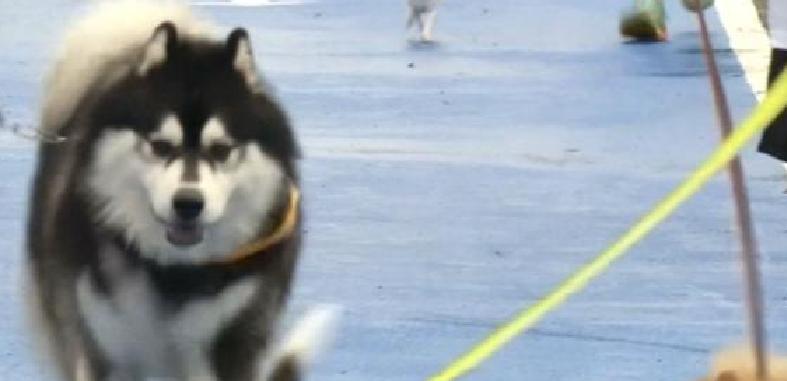 كلاب يساهمون بعرقهم في بناء مستشفى للبشر ..